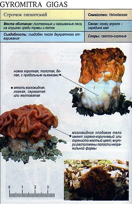 Строчок гигантский / Gyromitra gigas