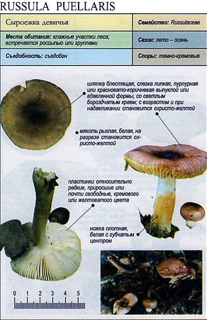 Сыроежка девичья / Russula puellaris