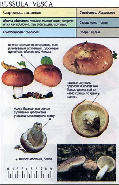 Сыроежка пищевая / Russula vesca