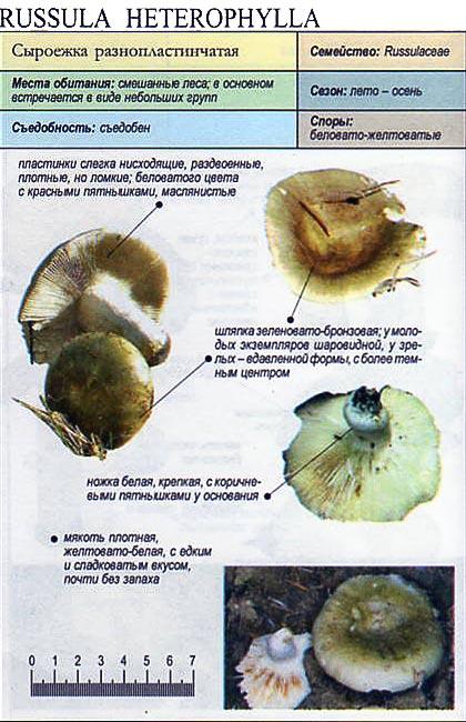 Сыроежка разнопластинчатая / Russula heterophylla