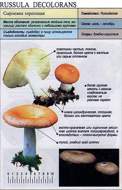 Сыроежка сереющая / Russula decolorans