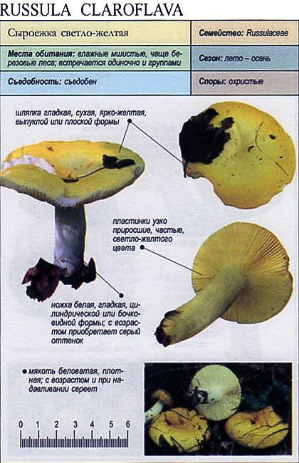 Сыроежка светло-желтая / Russula claroflava