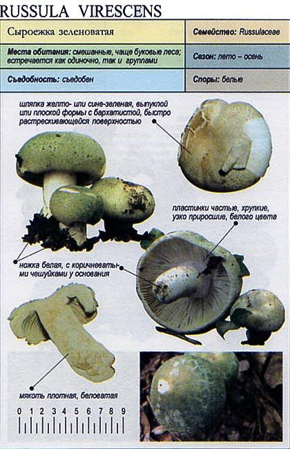 Сыроежка зеленоватая / Russula virescens