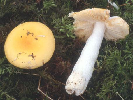 Сыроежка золотисто-жёлтая (Russula lutea)