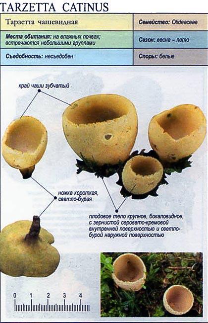 Тарзетта чашевидная / Tarzetta catinus