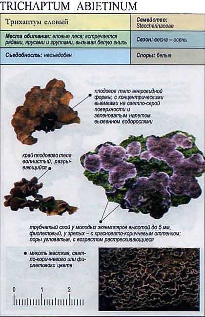 Трихаптум еловый / Trichaptum abietinum