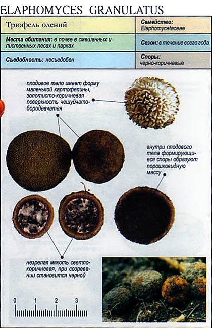 Трюфель олений / Elaphomyces granulatus