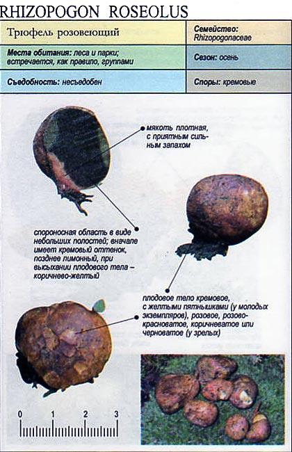 Трюфель розовеющий / Rhizopogon roseolus