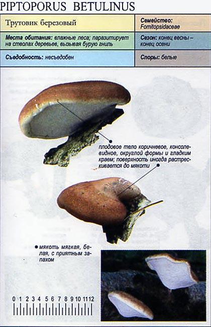 Трутовик березовый / Piptoporus betulinus