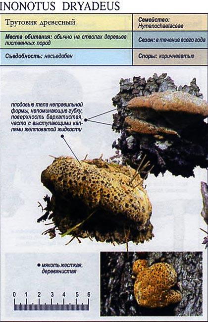Трутовик древесный / Inonotus dryadeus