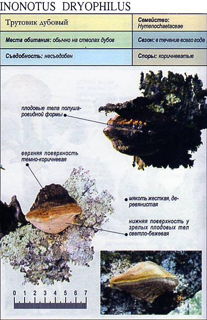 Трутовик дубовый / Inonotus dryophilus