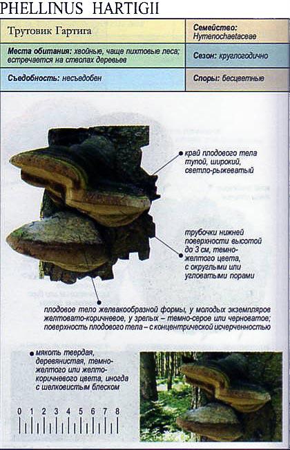 Трутовик Гартига / Phellinus Hartigii