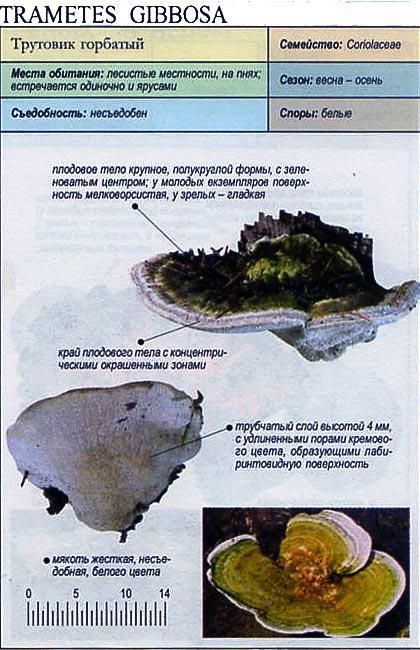 Трутовик горбатый / Trametes gibbosa