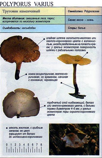 Трутовик изменчивый / Polyporus varius
