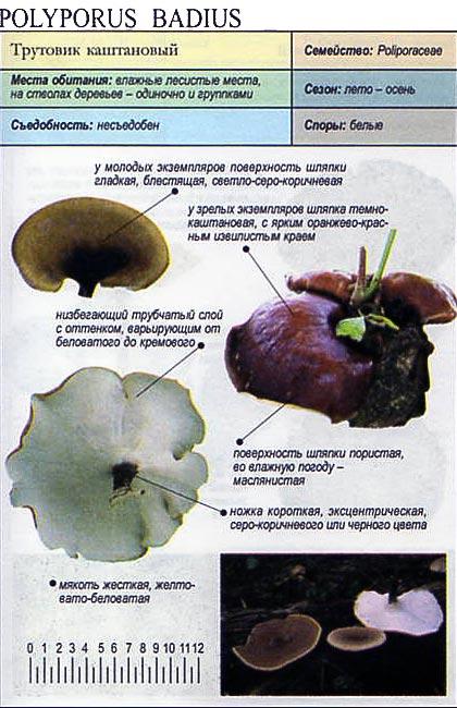 Трутовик каштановый / Polyporus badius