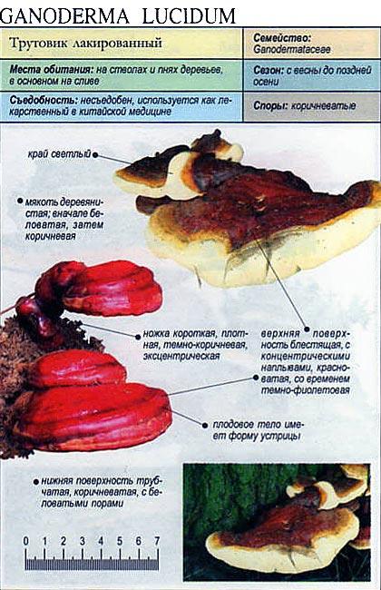 Трутовик лакированый / Ganoderma lucidium