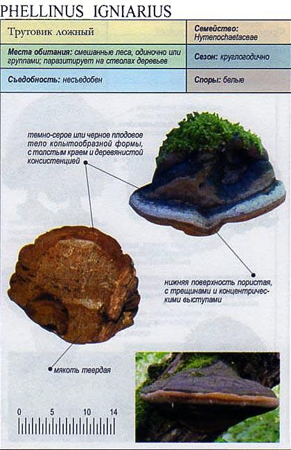 Трутовик ложный / Phellinus igniarius