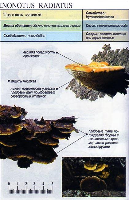 Трутовик лучевой / Inonotus radiatus