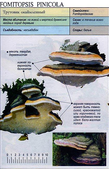 Трутовик окаймленный / Fomitopsis pinicola