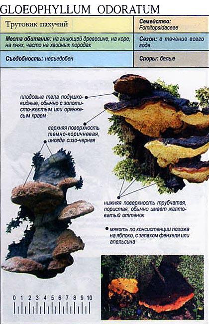 Трутовик пахучий / Gloeophyllum odoratum