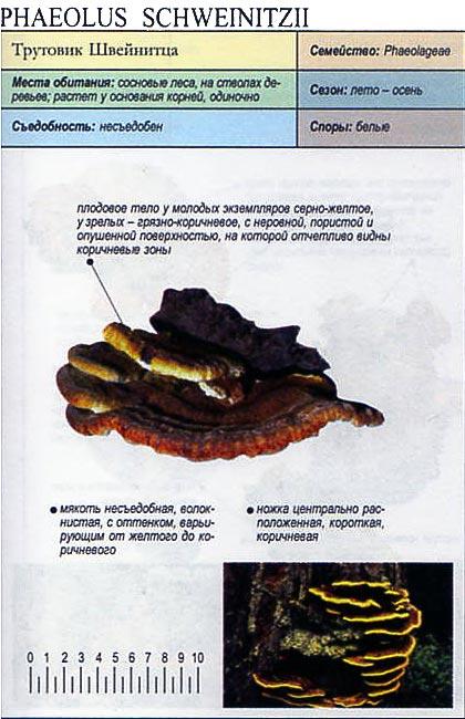 Трутовик Швейнитца / Phaeolus Schweinitzii