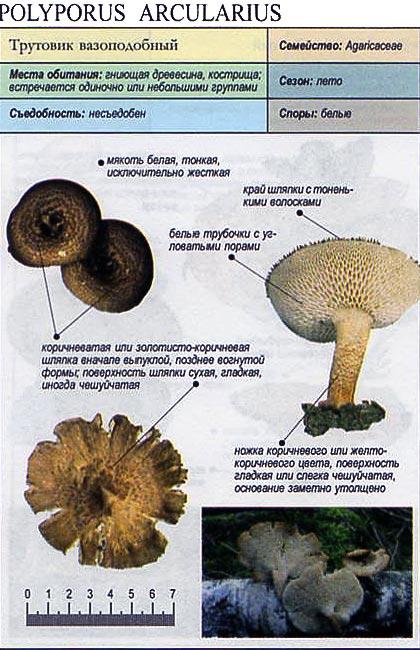 Трутовик вазоподобный / Polyporus arcularius
