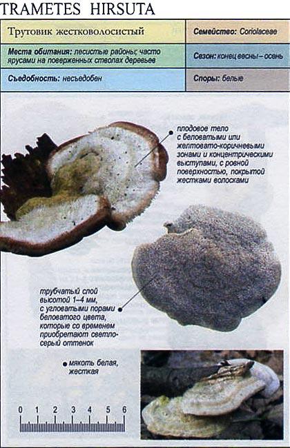 Трутовик жестковолосистый / Trametes hirsuta