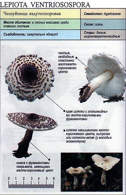 Чешуйница вздутоспоровая / Lepiota ventriosospora
