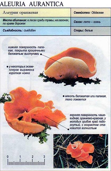 Алеурия оранжевая / Aleuria aurantica