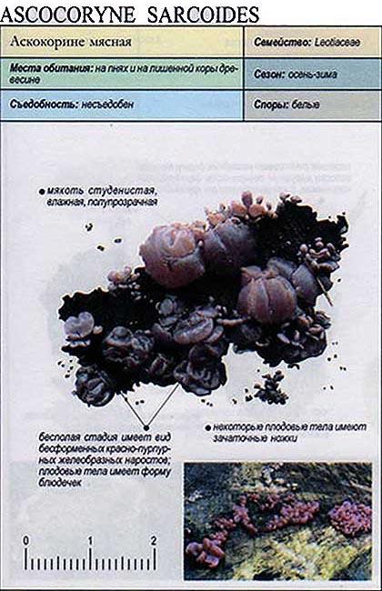 Аскокорине мясная / Ascocoryne sarcoides