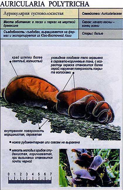 Аурикулярия густоволосистая / Auricularia polytricha