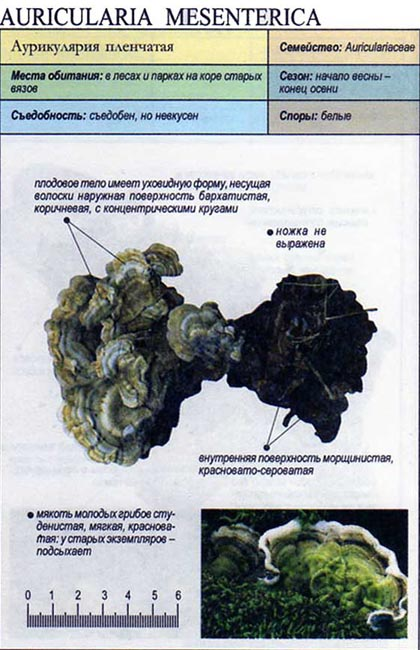 Аурикулярия пленчатая / Auricularia mesenterica