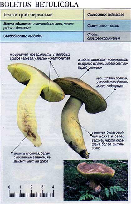 Белый гриб березовый / Boletus betulicola