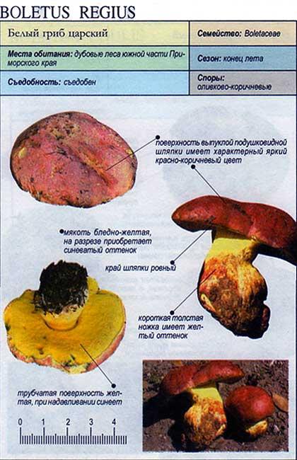 Белый гриб царский / Boletus regius