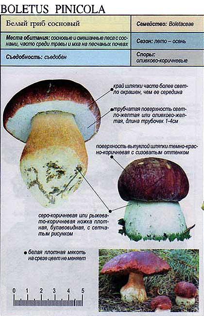 Белый гриб сосновый / Boletus pinicola