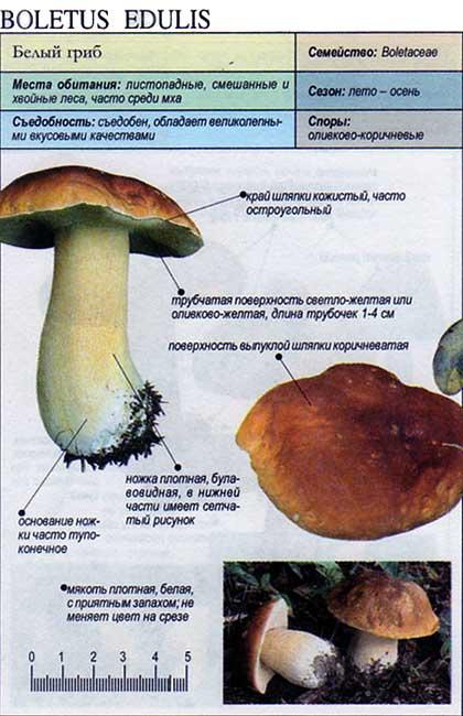 Съедобные белые грибы фото