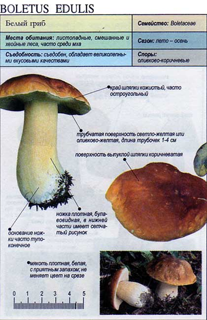 Белый гриб / Boletus edulis