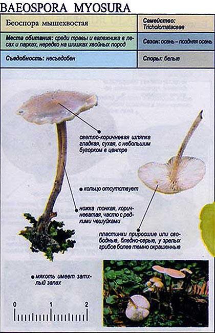Беоспора мышехвостая / Baeospora myosura