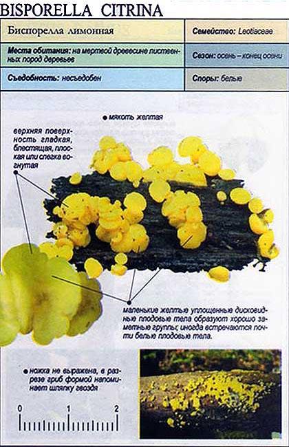 Биспорелла лимонная / Bisporella citrina