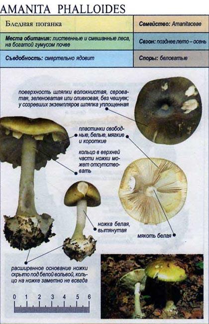 Бледная поганка / Amanita phalloides