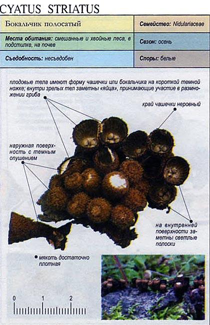 Бокальчик полосатый / Cyatus striatus