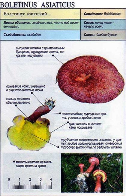 Болетинус азиатский / Boletinus asiaticus