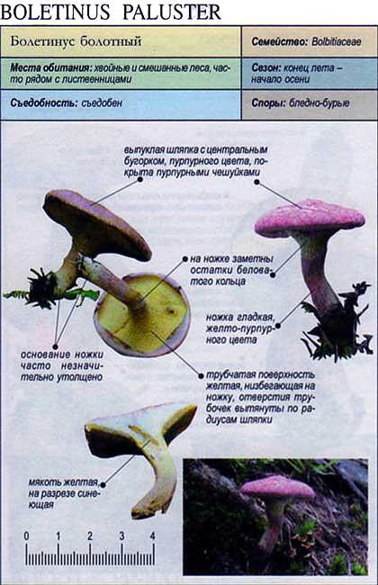 Болетинус болотный / Boletinus paluster