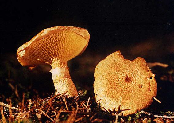 Болетинус полоножковый (Boletinus cavipes)
