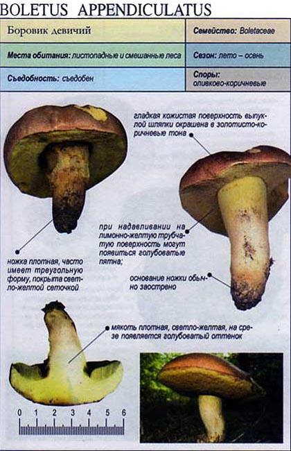 Боровик девичий / Boletus appendiculatus