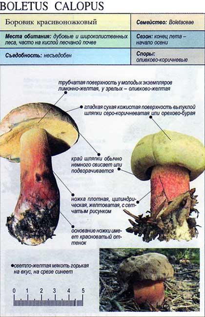 Боровик красивоножковый / Boletus calopus