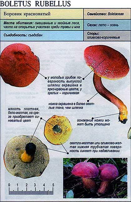 Боровик красноватый / Boletus rubellus