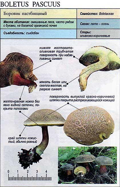Боровик пастбищный / Boletus pascuus