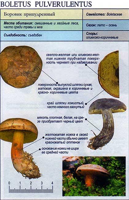 Боровик припудренный / Boletus pulverulentus