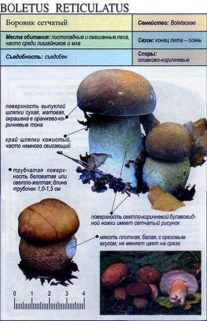 Боровик сетчатый / Boletus reticulatus